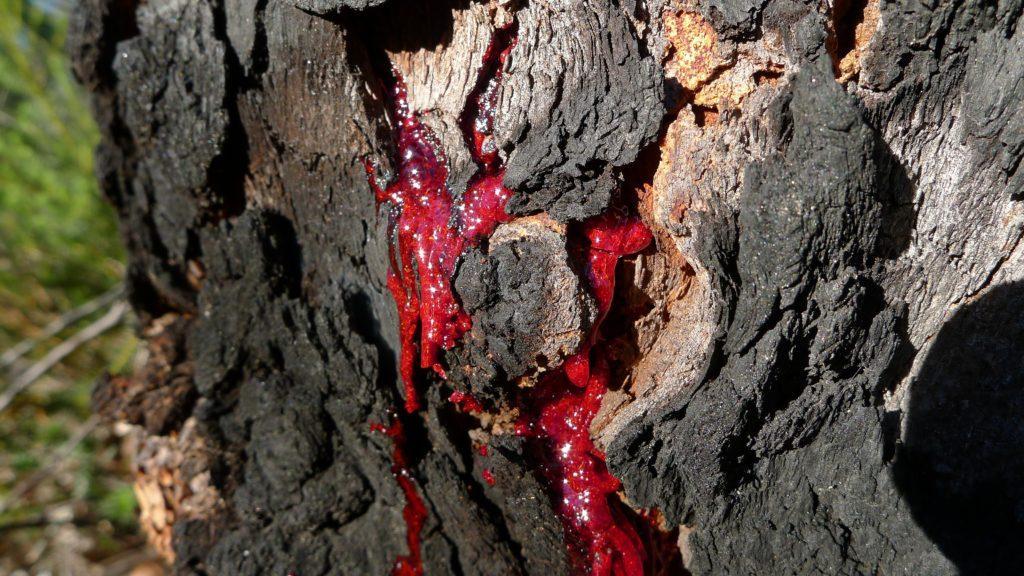 Драконья кровь – смола кротонового дерева